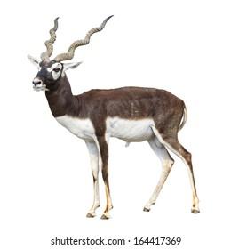 Black buck antelope isolated on white background