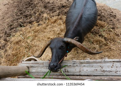 black buffalo eating the grass in the farm