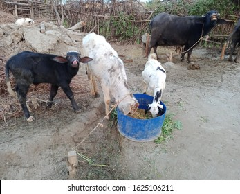 Black buffalo and her baby showing teeth together as a cow baby and goat straw