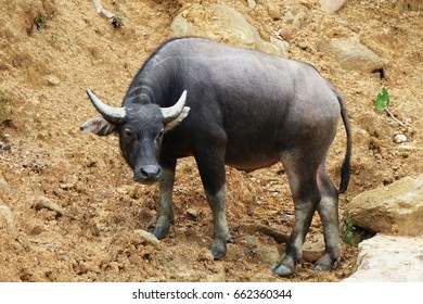 Black buffalo standing on brown soil. Vietnam, Southeast Asia.