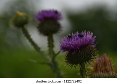 Black bugs on on Flower Burdock