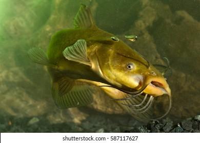 Black Bullhead, Ictalurus melas catfish in the pond