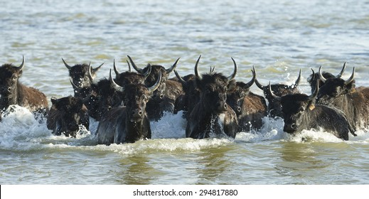Black Bulls of Camargue France running in water