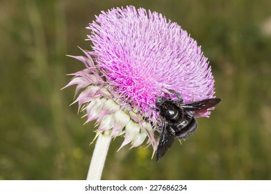 A black bumblebee (Bombus atratus) is feeding and pollinating a thistle flower, it collects nectar while pollen sticks on its body. Villa de Merlo city, province of San Luis, Argentina