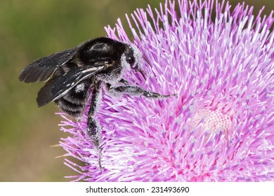 A black bumblebee (Bombus atratus) is feeding and pollinating a thistle flower, it collects nectar while pollen sticks to its body. Villa de Merlo city, province of San Luis, Argentina