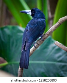Black butcherbird (Melloria quoyi, also known as Cracticus quoyi) looks over a shoulder while sitting on a branch in front of a green floral background. Babinda Rotary Park, Queensland, Australia.