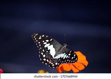 a black butterfly is enjoying the nectar of an orange paper flower with a black background