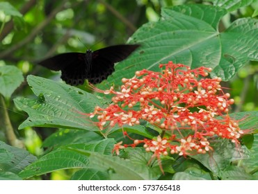 Black Butterfly flying to beautifull flower