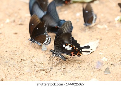 black butterfly in national park thailand