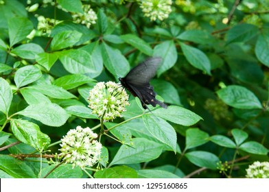 Black butterfly on a prickly Eleutherococcus flower