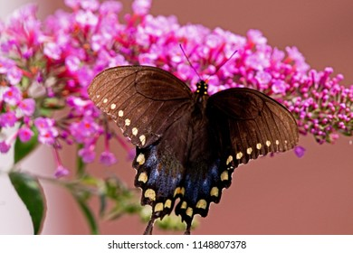 black butterfly on purple floers