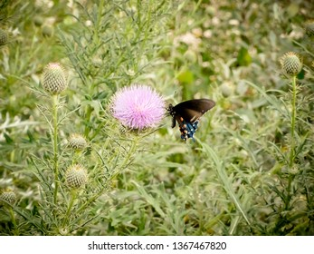 Black Butterfly on a Thistle Flower Among Wild Green Plants