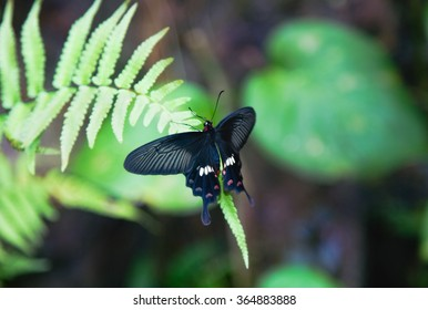 Black butterfly resting on the leaf