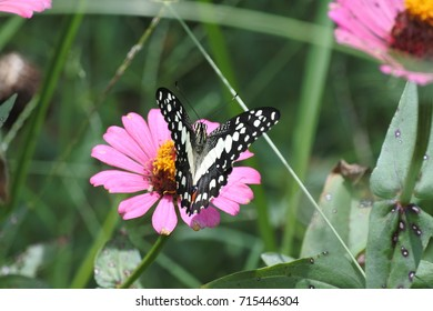 Black butterfly, white spot on pink flower