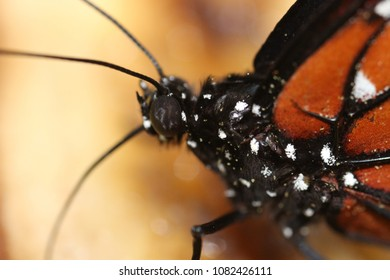 Black butterfly with white spots and orange wings.