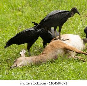 Black buzzards take opportunity on road kill