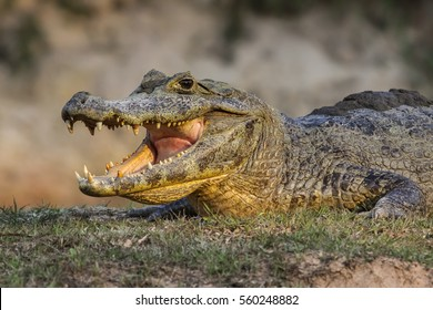 Black caiman cooling down with open mouth, Pantanal, Brazil