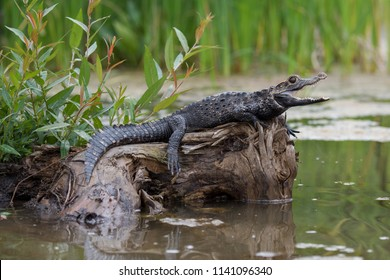Black caiman (Melanosuchus niger) Amazon rainforest, Brazil