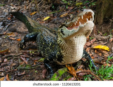 A black caiman (Melanosuchus niger) with open mouth and jaw in the Amazon River Rainforest Basin of Ecuador inside the Yasuni National Park, South America.