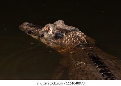 Black caiman (Melanosuchus niger) in an oxbow lake, Manu National Park, Peru