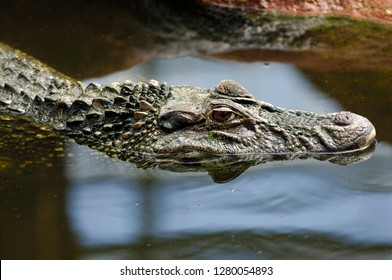 Black Caiman in the water