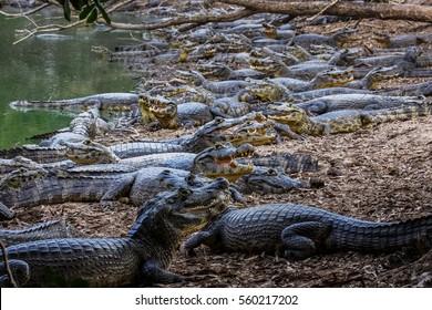 Black caimans crowding at the riverbank, Pantanal, Brazil