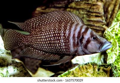 Black calvus fish Altolamprologus calvus - Shutterstock ID 1637570029