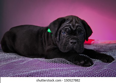 Black Cane Corso puppies, folds, wrinkles, cute, small