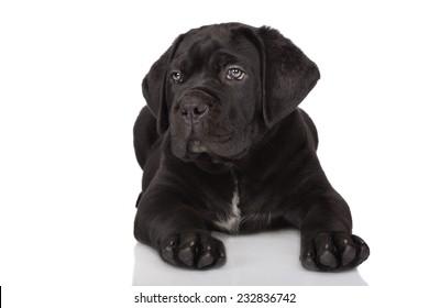 black cane corso puppy lying down
