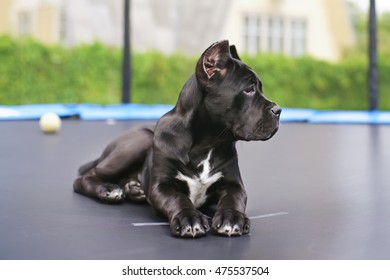 Black Cane Corso puppy lying outdoors on a trampoline