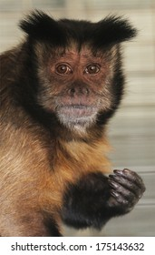 A black cap Capuchin monkey has sad eye, perhaps because he wishes he were in the wild and not in captivity.