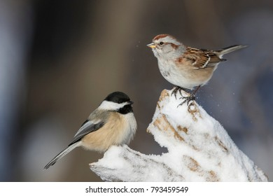 black capped chickadee and  American tree sparrow in winter