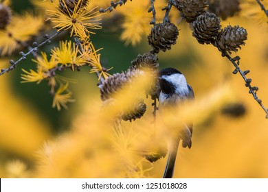 black capped chickadee in autumn colors