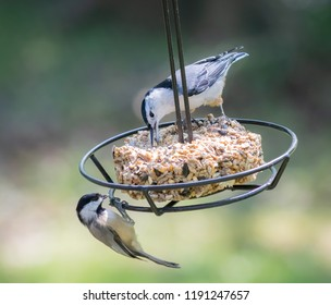 Black capped chickadee bird and a white chested nuthatch bird nature photography