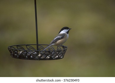 A black capped chickadee foraging on a backyard feeder in late Autumn.