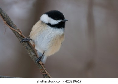 Black Capped Chickadee on Natural Perch
