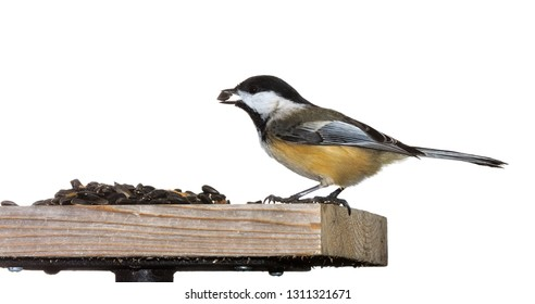 A black capped chickadee on sunflower seed feeder.  Its brilliant orange belly stands out against its midnight black wings and head. The songbird has a  single seed in its beak. White background