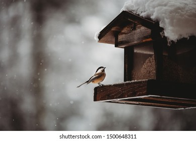 Black capped chickadee perched on a snow covered feeder sheltered by a wooden roof gazing upwards with background filled with falling snowflakes on a stark winter day.
