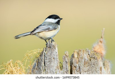 Black capped chickadee perched on  a snag.