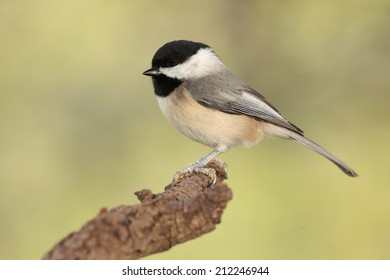 Black capped chickadee perched on a branch