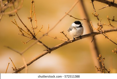 Black Capped.  The black capped chickadee perched on a warm winter day.