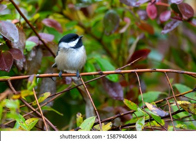 Black Capped Chickadee perching in a park