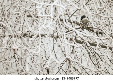 Black capped chickadee (Poecile atricapillus) perched in a snow covered tree in winter, Alaska