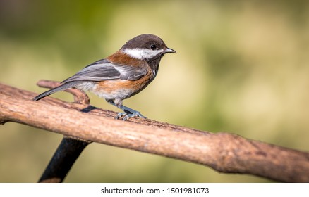 A Black capped chickadee ( Poecile atricapillus ) perched on a branch in Canada, looking for food.