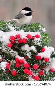 A Black- capped Chickadee (Poecile atricapillus) on a snowy festive spruce bough.