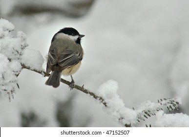 A Black Capped Chickadee (Poecile atricapillus) perched on a snow covered Evergreen during a snow storm in winter.