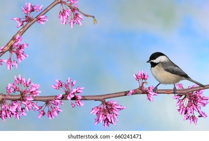 A Black- capped Chickadee (Poecile atricapillus) at flowering redbud.