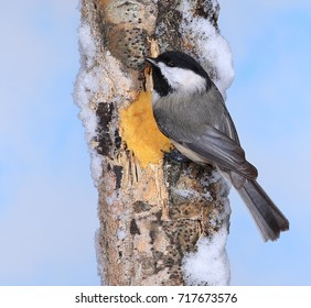 A Black- capped Chickadee (Poecile atricapillus) at winter suet.