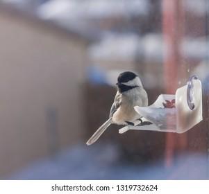Black capped Chickadee sitting on a window feeder