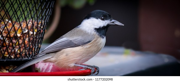 Black capped chickadee with sunflower seeds in beak